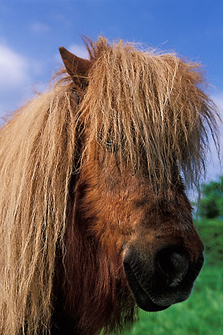 image 4-753-90 Ireland, County Louth, Shetland pony