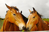 deux stock photography | Ireland, County Cork, Horses, image id 4-900-1235