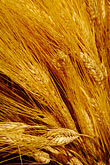 vertical stock photography | Still Life, Sheaf of barley, image id 4-900-1753