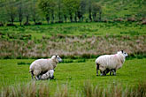 green stock photography | Ireland, Fermanagh, Sheep, image id 4-900-673