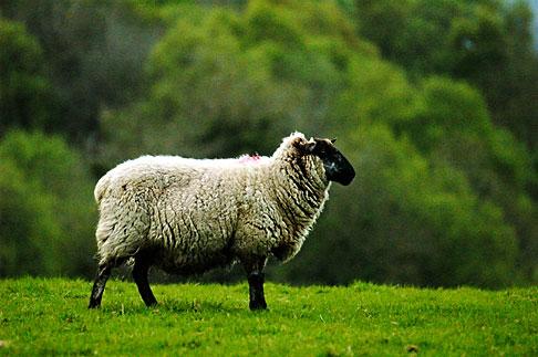 image 4-900-678 Ireland, Fermanagh, Sheep