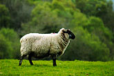 green stock photography | Ireland, Fermanagh, Sheep, image id 4-900-678