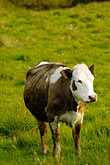 alone stock photography | Ireland, Fermanagh, Cow, image id 4-900-683