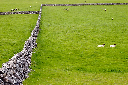 4-900-870 stock photo of Ireland, Galway, Sheep in field with stone walls