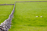 wall stock photography | Ireland, County Galway, Sheep in field with stone walls, image id 4-900-870