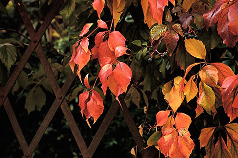 image S4-521-7932 Italy, Siena, Leaves on fence