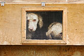 unhappy stock photography | Italy, San Gimignano, Dogs in cage, image id S4-528-8778