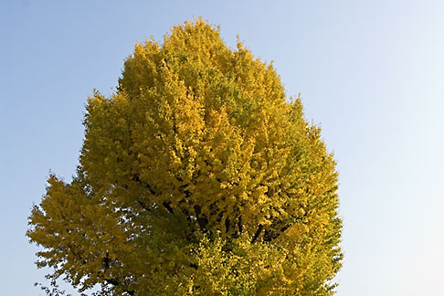 image 5-850-1861 Japan, Tokyo, Maple Tree