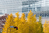 yellow stock photography | Japan, Tokyo, Maple tree and office building, Marunouchi, image id 5-850-2737