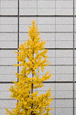 yellow stock photography | Japan, Tokyo, Maple tree and office building, Marunouchi, image id 5-850-2742