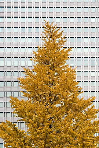 image 5-850-2789 Japan, Tokyo, Maple tree and office building, Marunouchi