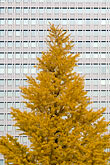 vertical stock photography | Japan, Tokyo, Maple tree and office building, Marunouchi, image id 5-850-2789