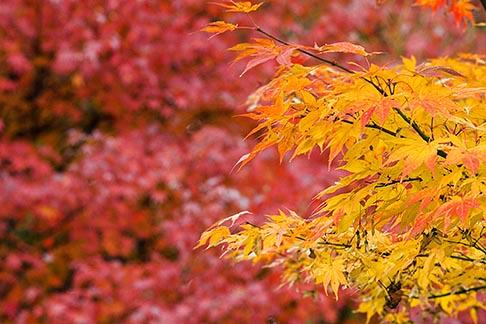 image 5-855-2429 Japan, Kyoto, Maple leaves
