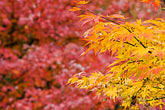 yellow stock photography | Japan, Kyoto, Maple leaves, image id 5-855-2429