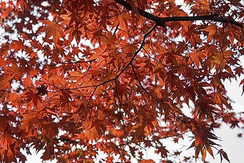 image 5-855-2540 Japan, Kyoto, Maple leaves