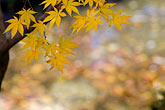 soft focus stock photography | Japan, Kyoto, Maple leaves, image id 5-855-2565