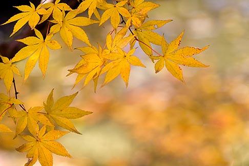 image 5-855-2566 Japan, Kyoto, Maple leaves