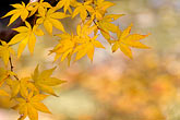 yellow stock photography | Japan, Kyoto, Maple leaves, image id 5-855-2566
