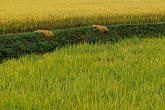 yellow stock photography | South Korea, Andong, Rice fields, image id 2-700-17