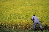 high angle view stock photography | South Korea, Andong, Rice fields, image id 2-700-18