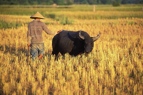 image 8-570-5 Laos, Vientiane Province, Rice farmer in field