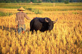water buffalo stock photography | Laos, Vientiane Province, Rice farmer in field, image id 8-570-5