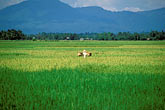 one person stock photography | Laos, Vientiane Province, Rice fields, image id 8-570-6