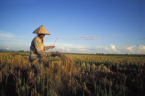 image 8-571-72 Laos, Vientiane Province, Rice farmer in field