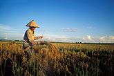 one person stock photography | Laos, Vientiane Province, Rice farmer in field, image id 8-571-72