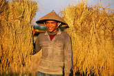 one person stock photography | Laos, Vientiane Province, Rice farmer in field, image id 8-571-88