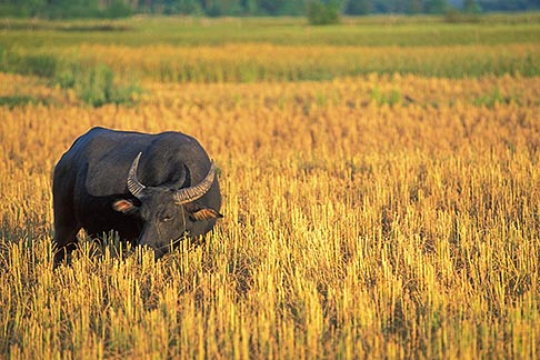 image 8-572-2 Laos, Vientiane Province, Water buffalo in rice field
