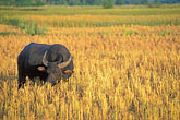 horizontal stock photography | Laos, Vientiane Province, Water buffalo in rice field, image id 8-572-2