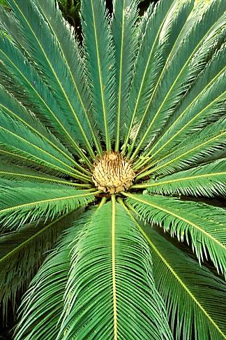 image 8-233-10 Tropical plant, Cycad, Cycas revoluta