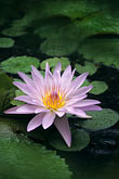 serene stock photography | Martinique, Jardin de Balata, Blue water lily, Nymphae Coerulea, image id 8-235-32