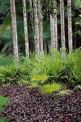 image 8-242-28 Martinique, Jardin de Balata, Hemigraphis colorata and palms