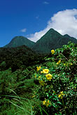 pitons de carbet and golden trumpet flowers stock photography | Martinique, Jardin de Balata, Pitons de Carbet and Golden Trumpet flowers, image id 8-260-28
