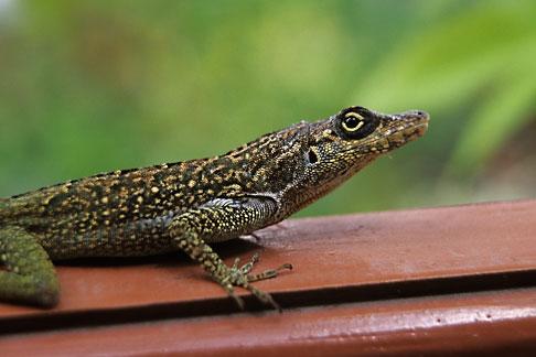 image 8-276-11 Martinique, Gecko