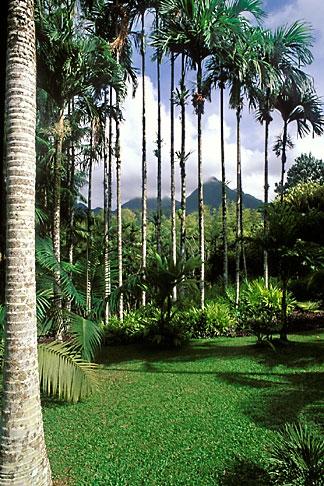 image 8-309-6 Martinique, Jardin de Balata, Betel nut palms, Areca catechu
