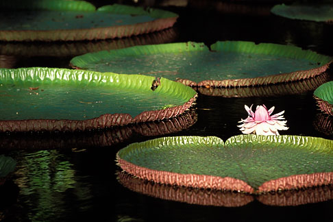 image 9-201-21 Mauritius, Pamplemousses, Victoria Regia water lilies