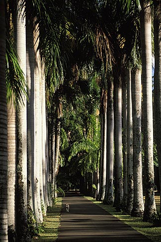 image 9-201-58 Mauritius, Pamplemousses, Avenue of palms, Royal Botanical Gardens