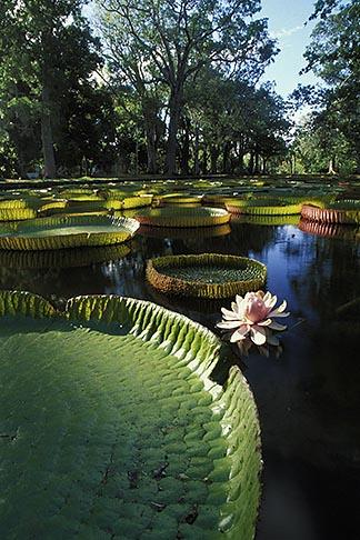 image 9-201-80 Mauritius, Pamplemousses, Victoria Regia water lilies