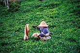 one person stock photography | Mauritius, Picking tea on a tea plantation, image id 9-202-60