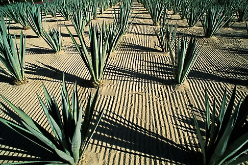 image 0-52-61 Mexico, Cabo San Lucas, Cactus and hotel entrance