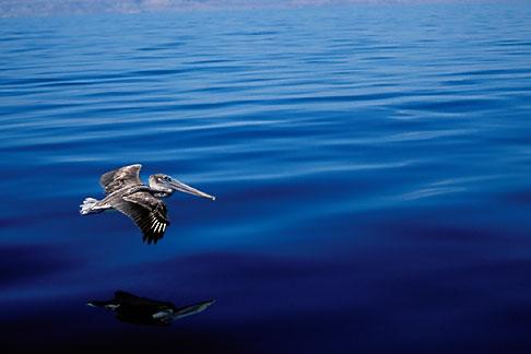 image 0-61-38 Animals, Birds, Travel, Mexico, Baja California Sur, Pelican flying