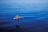 pelican flying stock photography | Mexico, Baja California Sur, Pelican, Sea of Cortez, image id 0-61-38