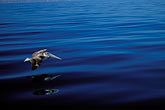 pelican flying stock photography | Mexico, Baja California Sur, Pelican, Sea of Cortez, image id 0-61-39