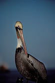 sea stock photography | Mexico, Baja California Sur, Pelican, Sea of Cortez, image id 0-61-47