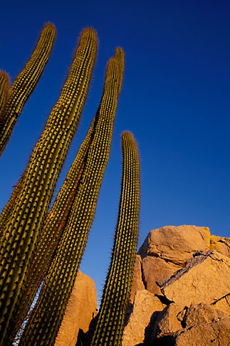 image 0-62-5 Mexico, Baja California Sur, Organ pipe cactus and desert rocks at sunrise
