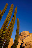 way out stock photography | Mexico, Baja California Sur, Organ pipe cactus and desert rocks at sunrise, image id 0-62-5