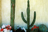 flowers stock photography | Mexico, Baja California Sur, Cactus and wall, image id 0-62-64